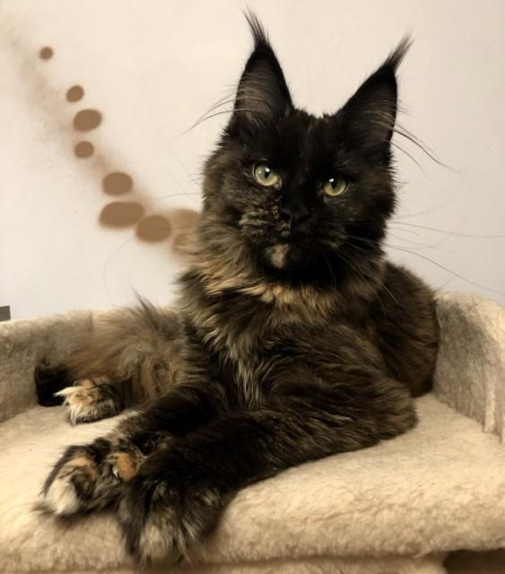 Мейн-кун может быть таким же ласковым , как и обычный кот