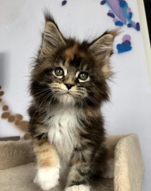 Невероятно милый котенок Мейн-кун