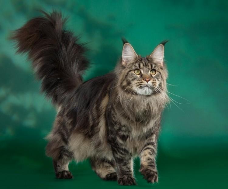 Величественные коты
