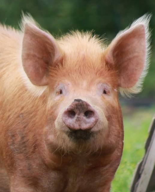 Измеряйте свинюшкам температуру