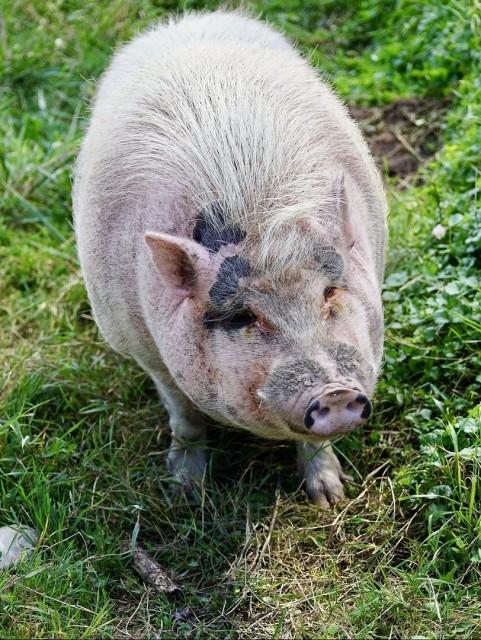 Свиней с клиническими признаками заболевания изолируют