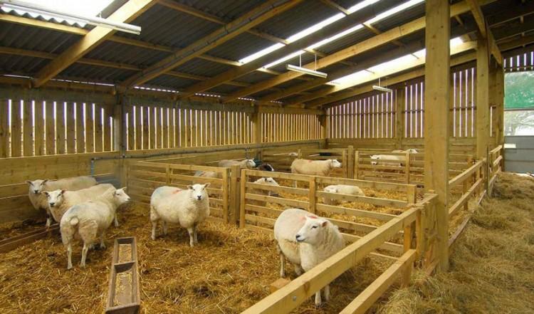 Важно соблюдать некоторые правила для разведения овец