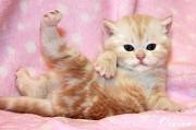 Британский котик красный мрамор на серебре из питомника. Москва