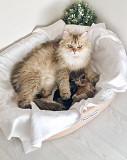 Открыт резерв на котят британской длинношерстной!!! Питомник Miren Premium Cats Cattery! Санкт-Петербург