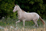 Ахалтекинская изабелловая лошадь доставка из г.Москва