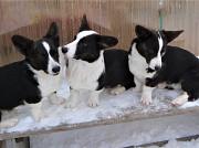 Подрощенные щенки вельш корги кардиган от титулованных родителей Екатеринбург