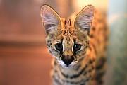 Котята африканской кошки Ханты-Мансийск