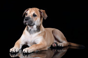Продаётся щенок Санкт-Петербург