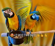 Сине желтый ара (ara ararauna) - ручные птенцы из питомников Европы Москва