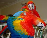 Красный ара (ara macao) - абсолютно ручные птенцы из питомников Европы Москва