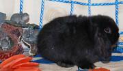 Карликовые кролики Москва