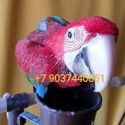 Зеленокрылый ара (ara chloroptera) - птенцы выкормыши Москва