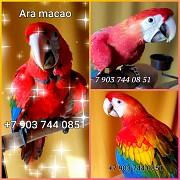 Красный ара (ara macao) ручные птенцы из питомника Москва