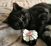 Британские клубные котята из питомника. Москва