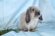 Вислоухие карликовые крольчата Электрогорск