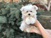 В продаже щенки мальтийской болонки(maltese) от Ирлайн-дог Екатеринбург