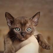 Бурманские котята Санкт-Петербург