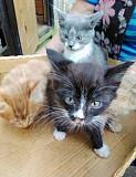 Необычайно красивые котятки от Сибирской мышеловки. Санкт-Петербург