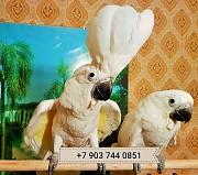 Белохохлый какаду (сacatua alba) ручные птенцы из питомника Москва