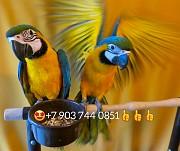 Сине желтый ара (ara ararauna) - ручные птенцы из питомника Москва