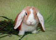 Карликовый кролик NHD Москва