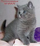 Британские клубные котята голубого окраса из питомника. Москва